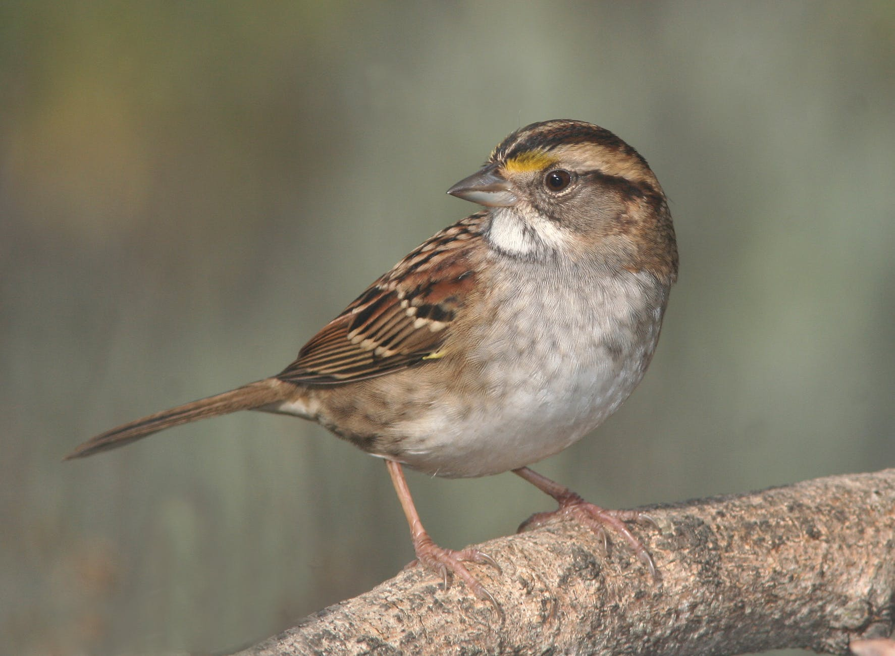 brown small beak bird